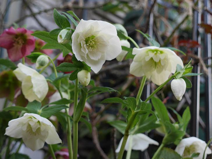 アシュードホワイトシフォンの花がたくさん咲いた。2021年-004.jpg