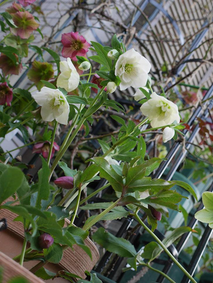 アシュードホワイトシフォンの花がたくさん咲いた。2021年-005.jpg