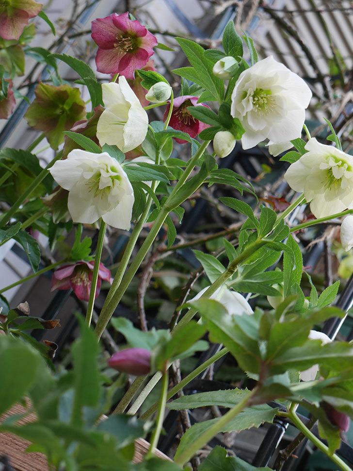 アシュードホワイトシフォンの花がたくさん咲いた。2021年-006.jpg
