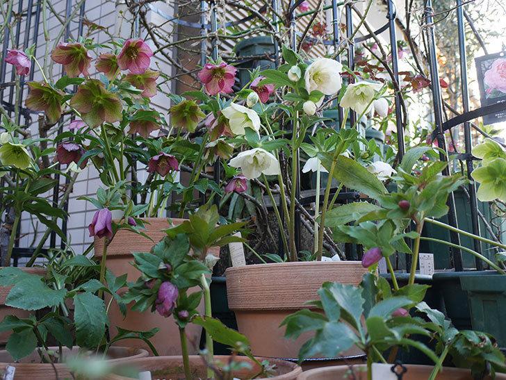 アシュードホワイトシフォンの花がたくさん咲いた。2021年-007.jpg