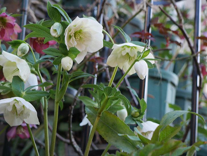 アシュードホワイトシフォンの花がたくさん咲いた。2021年-008.jpg