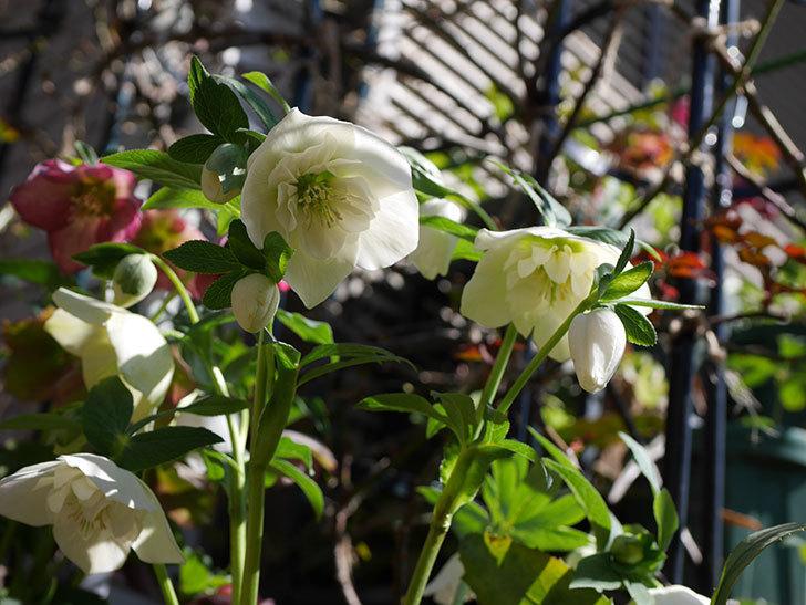 アシュードホワイトシフォンの花がたくさん咲いた。2021年-009.jpg