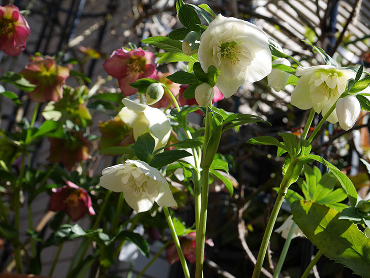 アシュードホワイトシフォンの花がたくさん咲いた。2021年-011.jpg