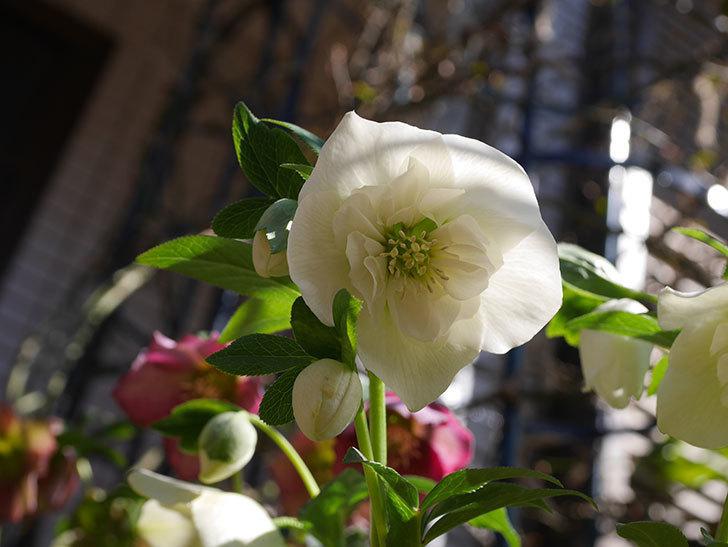 アシュードホワイトシフォンの花がたくさん咲いた。2021年-012.jpg