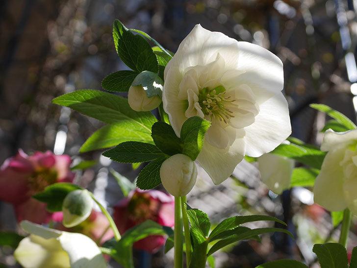 アシュードホワイトシフォンの花がたくさん咲いた。2021年-013.jpg