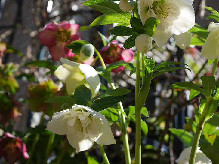 アシュードホワイトシフォンの花がたくさん咲いた。2021年-014.jpg