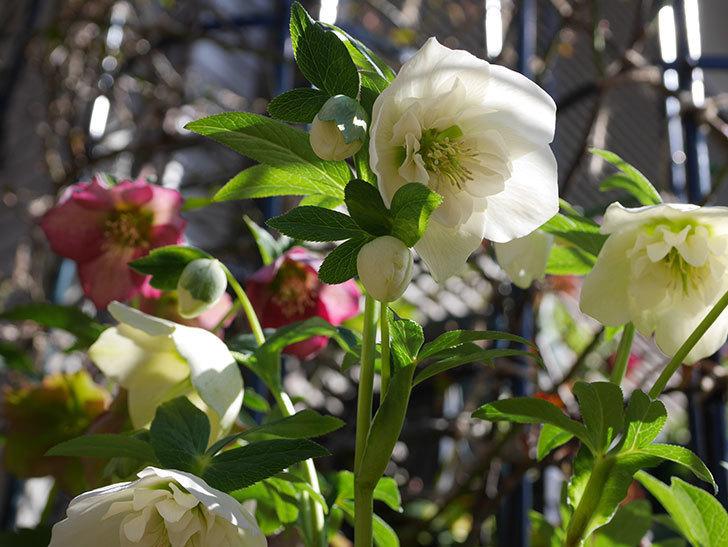 アシュードホワイトシフォンの花がたくさん咲いた。2021年-015.jpg