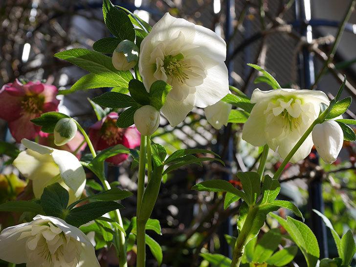 アシュードホワイトシフォンの花がたくさん咲いた。2021年-016.jpg