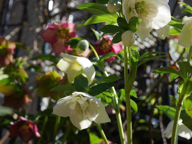 アシュードホワイトシフォンの花がたくさん咲いた。2021年-017.jpg