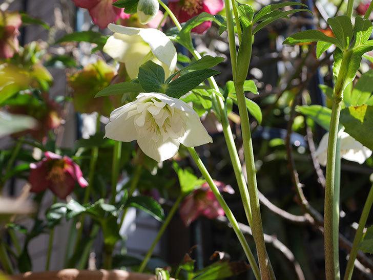 アシュードホワイトシフォンの花がたくさん咲いた。2021年-018.jpg