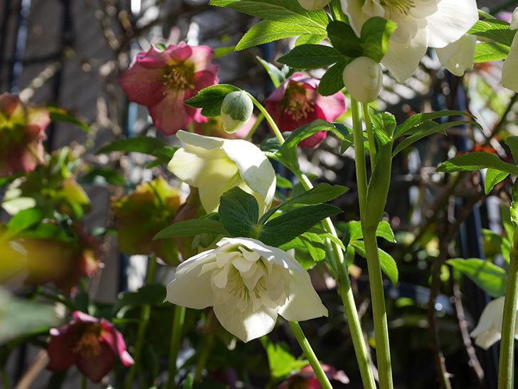 アシュードホワイトシフォンの花がたくさん咲いた。2021年-019.jpg
