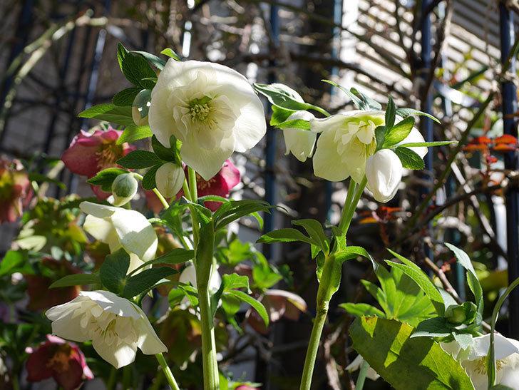 アシュードホワイトシフォンの花がたくさん咲いた。2021年-020.jpg