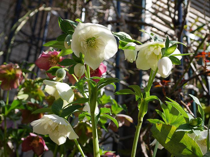 アシュードホワイトシフォンの花がたくさん咲いた。2021年-021.jpg