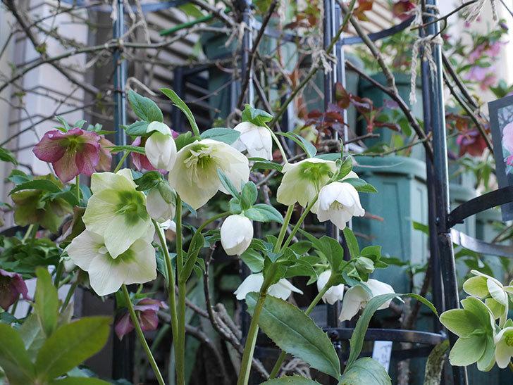 アシュードホワイトシフォンの花がたくさん咲いた。2021年-022.jpg