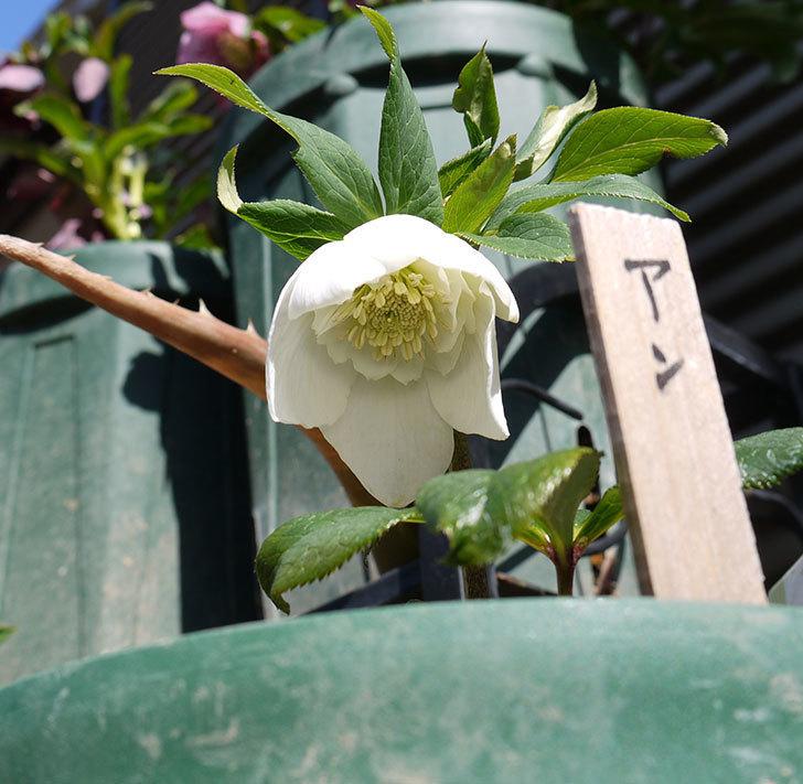 アシュードホワイトシフォンの花が咲いた。2017年-2.jpg