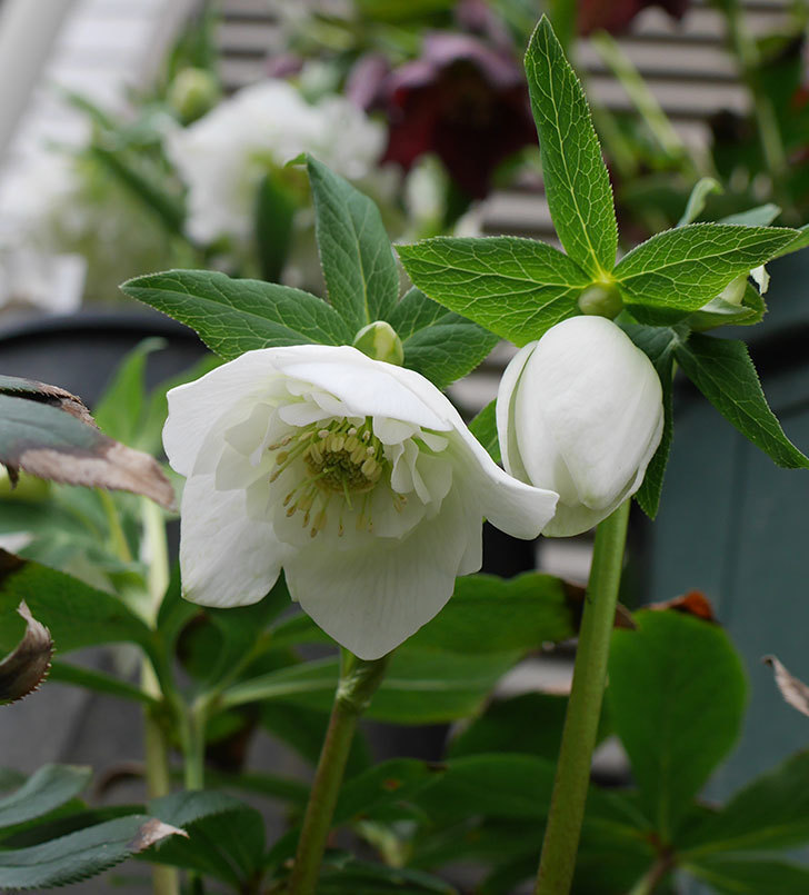 アシュードホワイトシフォンの花が咲いた。2019年-1.jpg