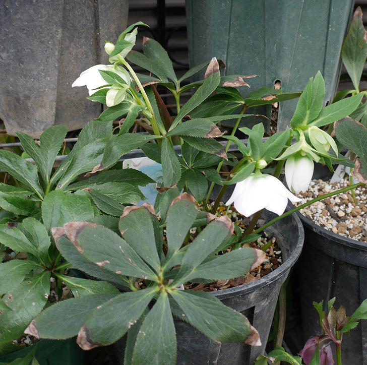 アシュードホワイトシフォンの花が咲いた。2019年-2.jpg