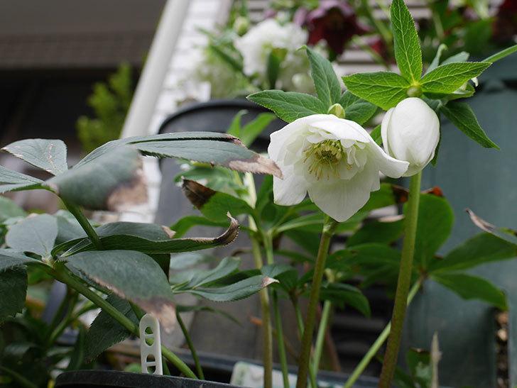 アシュードホワイトシフォンの花が咲いた。2019年-3.jpg
