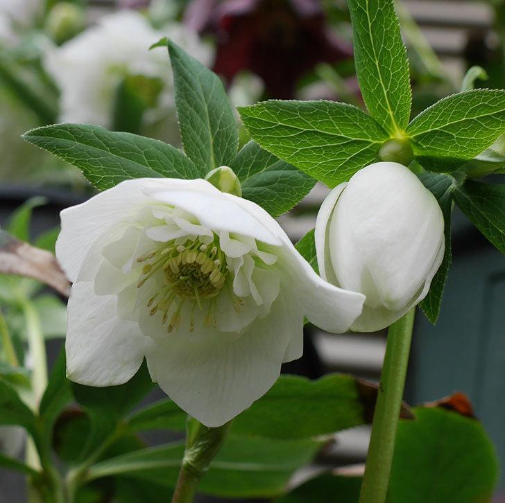 アシュードホワイトシフォンの花が咲いた。2019年-4.jpg