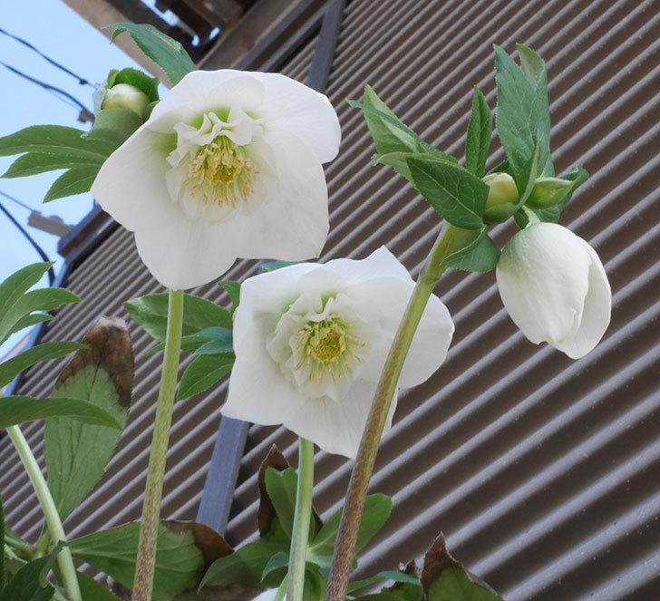 アシュードホワイトシフォンの花が咲いた。2020年-1.jpg