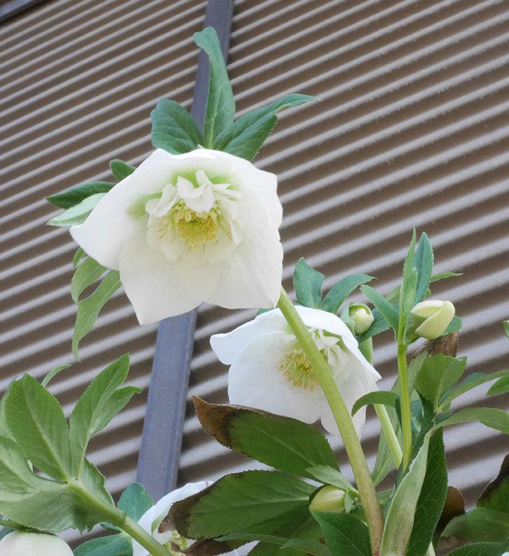 アシュードホワイトシフォンの花が咲いた。2020年-2.jpg