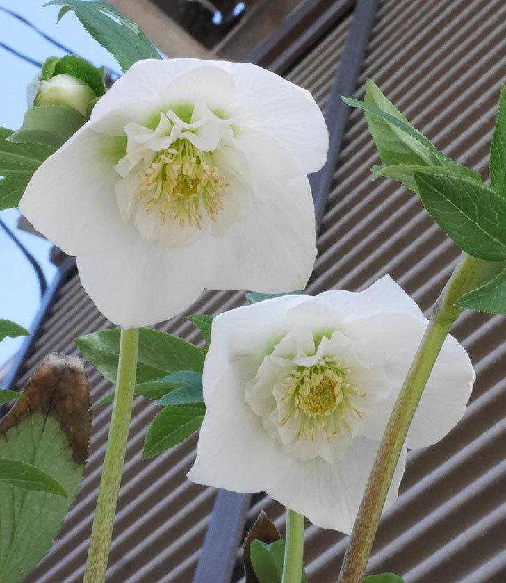アシュードホワイトシフォンの花が咲いた。2020年-3.jpg