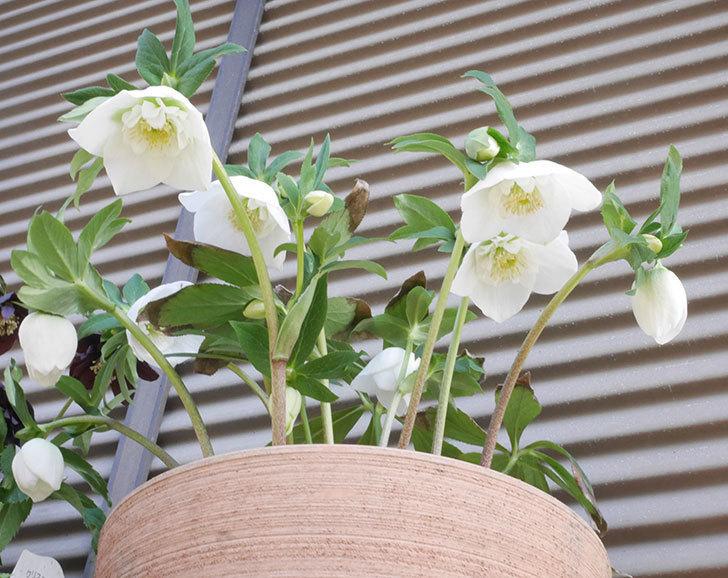アシュードホワイトシフォンの花が咲いた。2020年-4.jpg