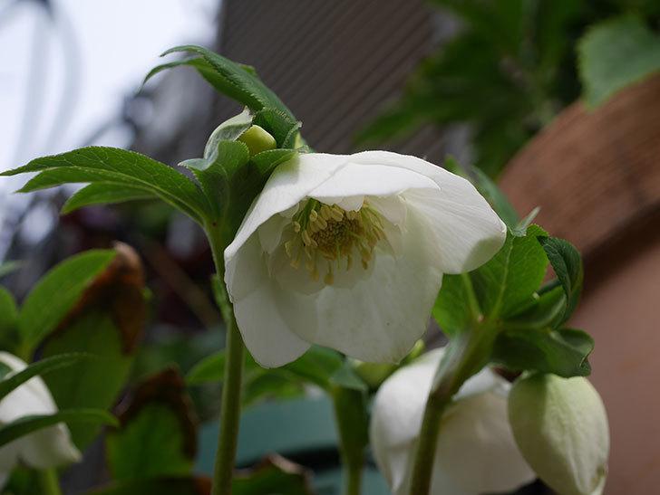 アシュードホワイトシフォンの花が咲きだした。2020年-5.jpg