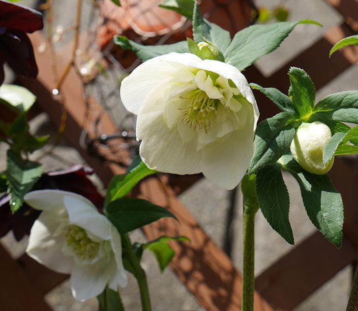 アシュードホワイトシフォンの花が増えてきた。2018年-1.jpg