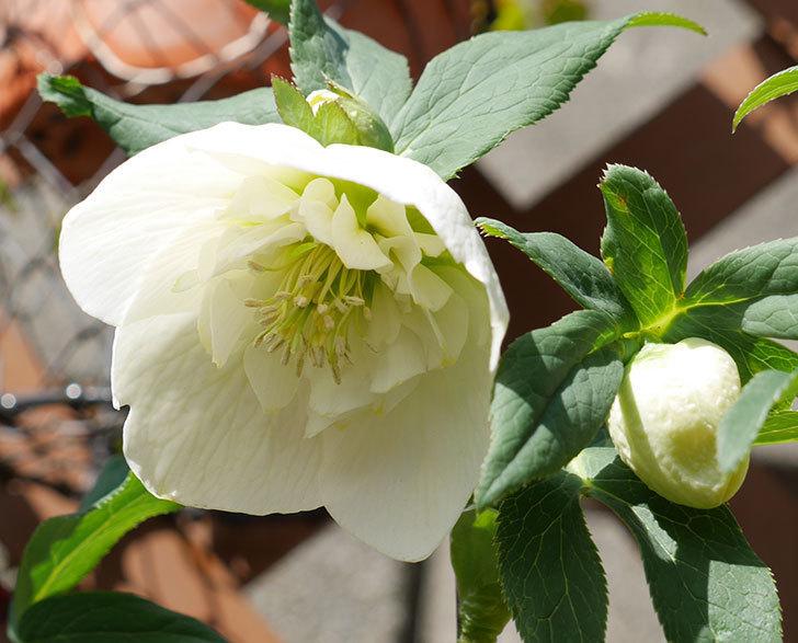 アシュードホワイトシフォンの花が増えてきた。2018年-2.jpg