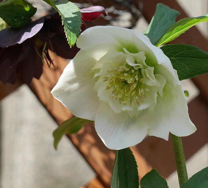 アシュードホワイトシフォンの花が増えてきた。2018年-3.jpg