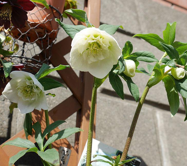 アシュードホワイトシフォンの花が増えてきた。2018年-4.jpg