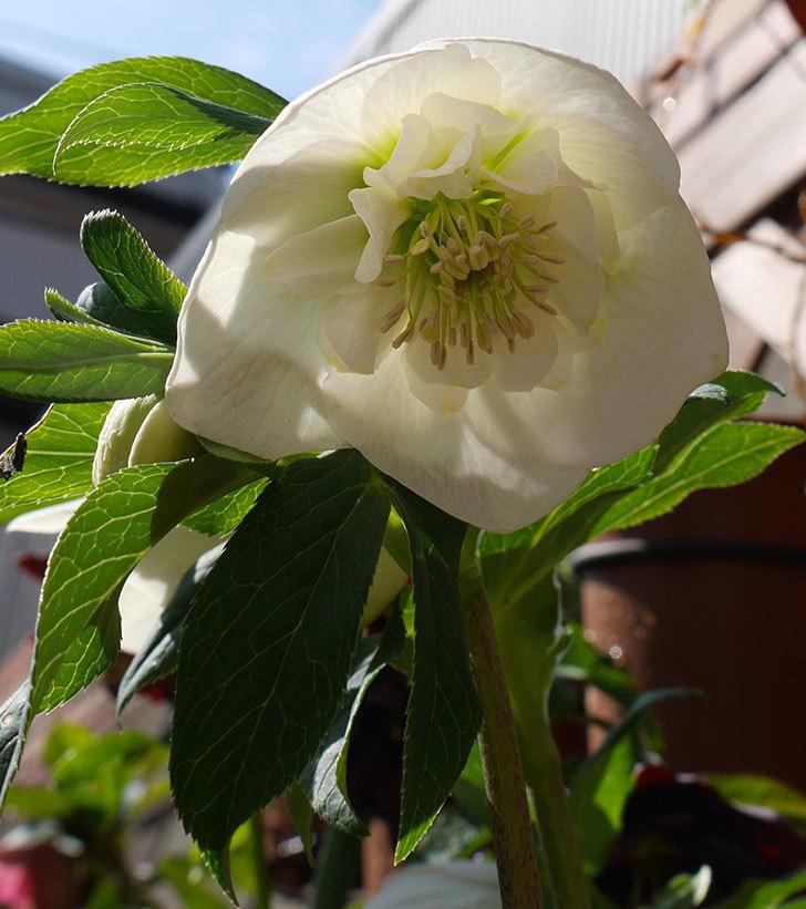 アシュードホワイトシフォンの花が増えてきた。2018年-6.jpg
