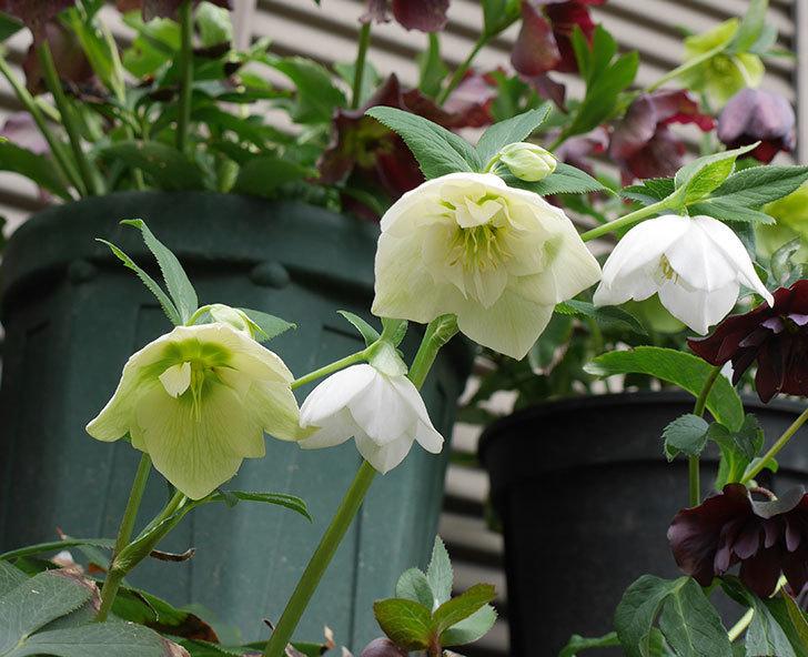 アシュードホワイトシフォンの花が増えて来た。2019年-1.jpg