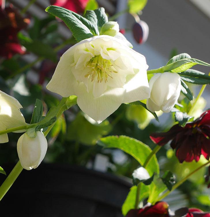 アシュードホワイトシフォンの花が増えて来た。2019年-2.jpg