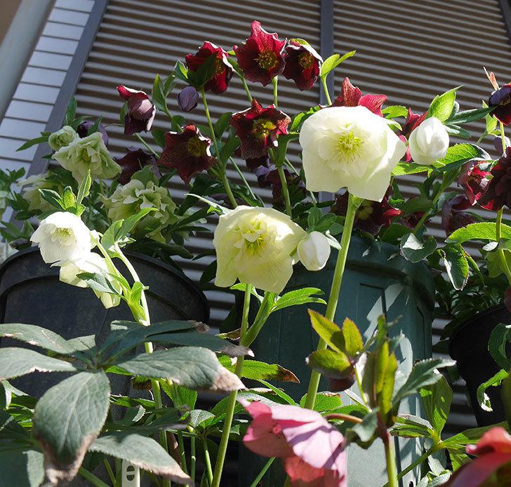 アシュードホワイトシフォンの花が増えて来た。2019年-3.jpg