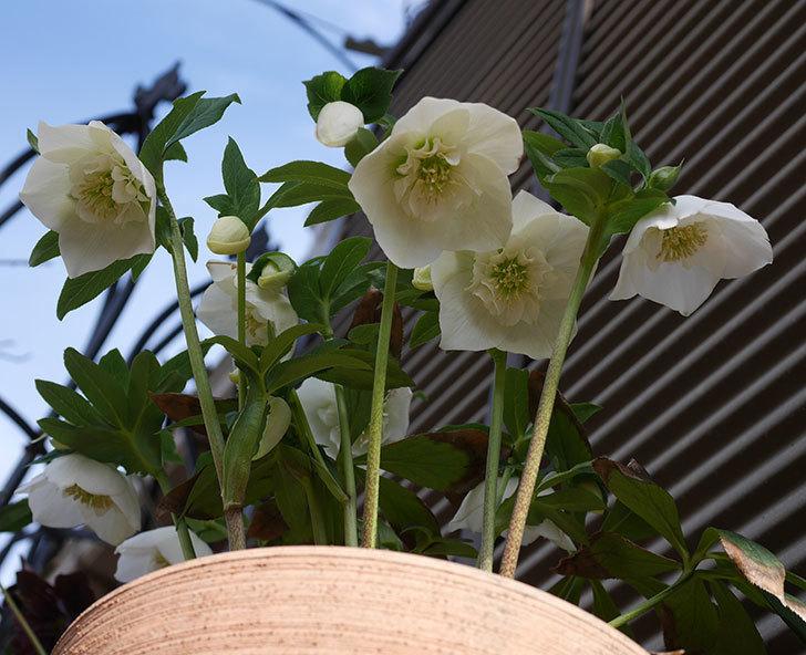 アシュードホワイトシフォンの花が増えて来た。2020年-1.jpg