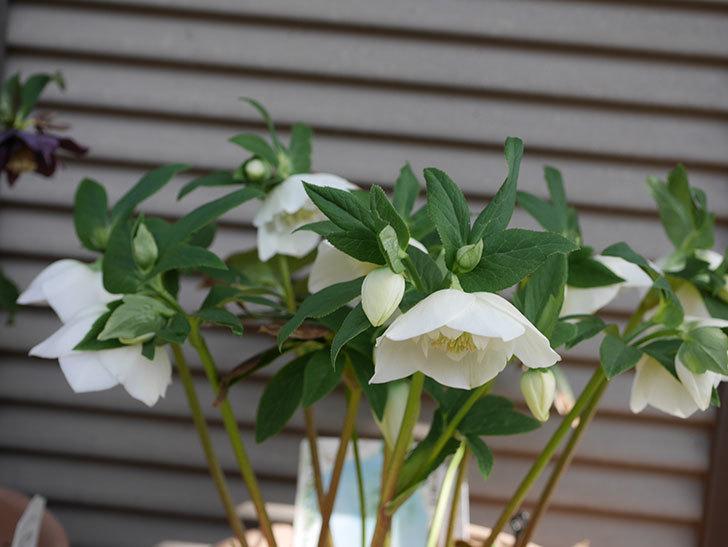 アシュードホワイトシフォンの花が増えて来た。2020年-10.jpg