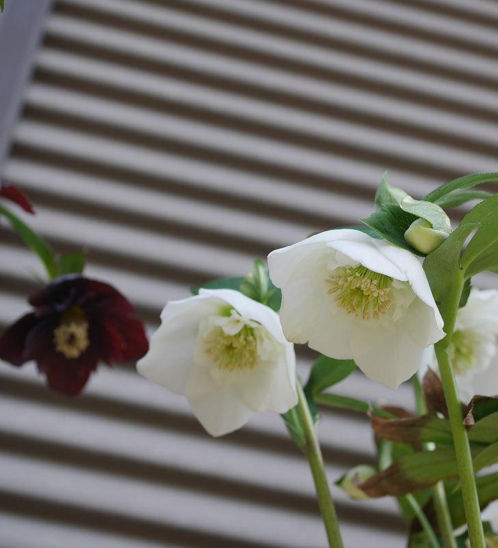 アシュードホワイトシフォンの花が増えて来た。2020年-2.jpg