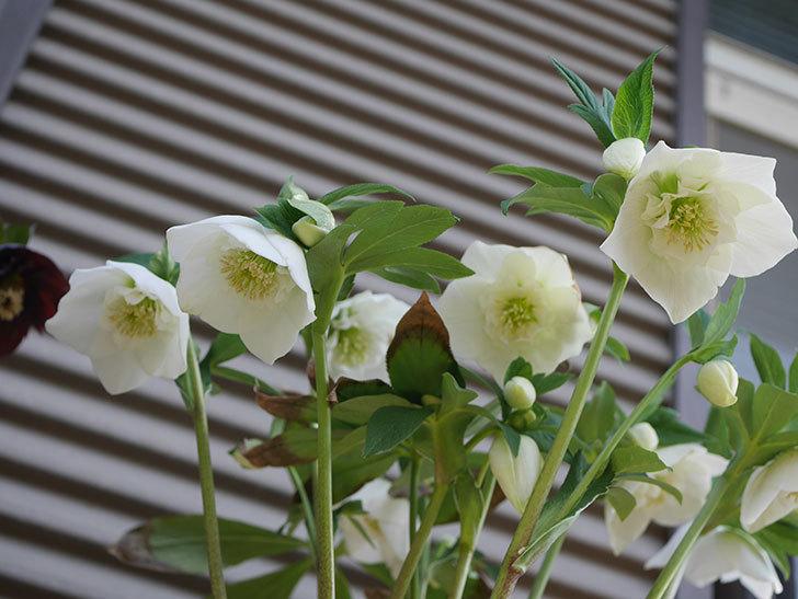 アシュードホワイトシフォンの花が増えて来た。2020年-3.jpg
