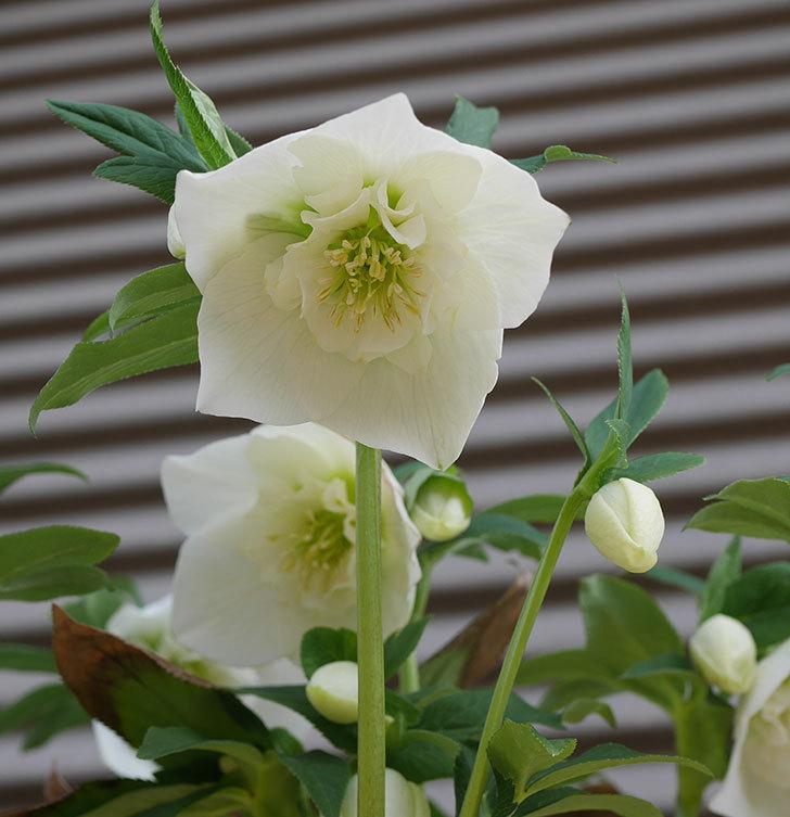 アシュードホワイトシフォンの花が増えて来た。2020年-5.jpg