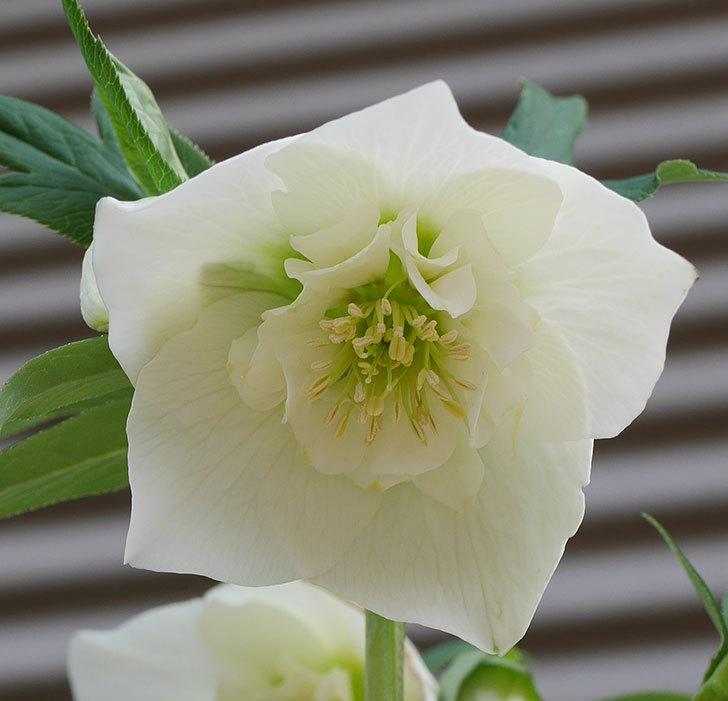 アシュードホワイトシフォンの花が増えて来た。2020年-6.jpg