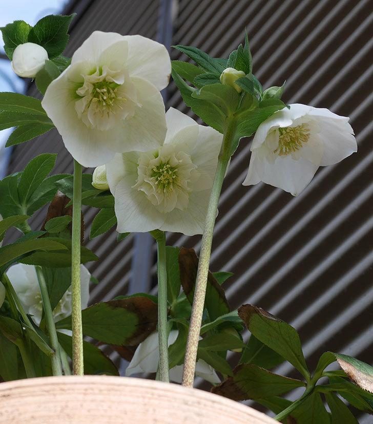 アシュードホワイトシフォンの花が増えて来た。2020年-8.jpg
