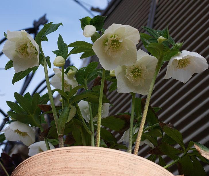 アシュードホワイトシフォンの花が増えて来た。2020年-9.jpg
