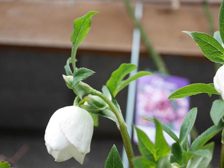 アシュードホワイトシフォンの花が少し咲いた。2021年-001.jpg