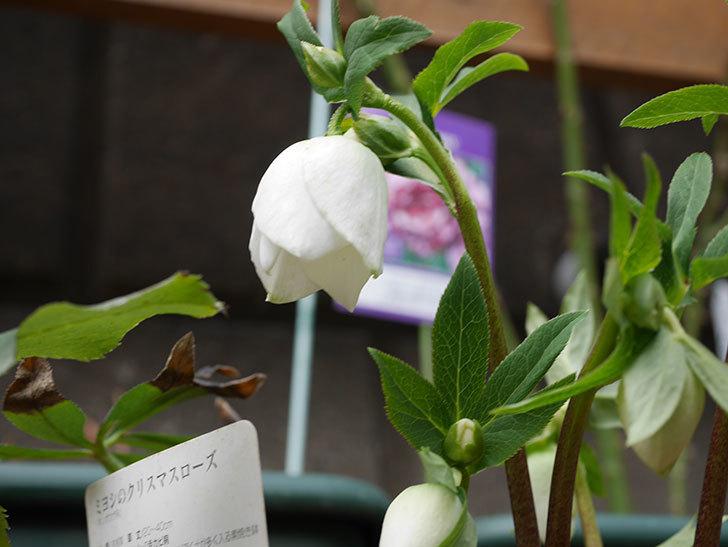 アシュードホワイトシフォンの花が少し咲いた。2021年-003.jpg