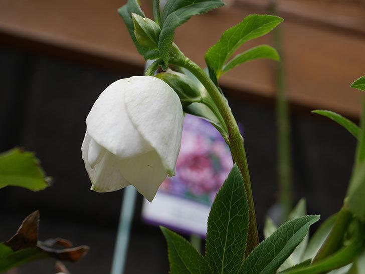 アシュードホワイトシフォンの花が少し咲いた。2021年-008.jpg