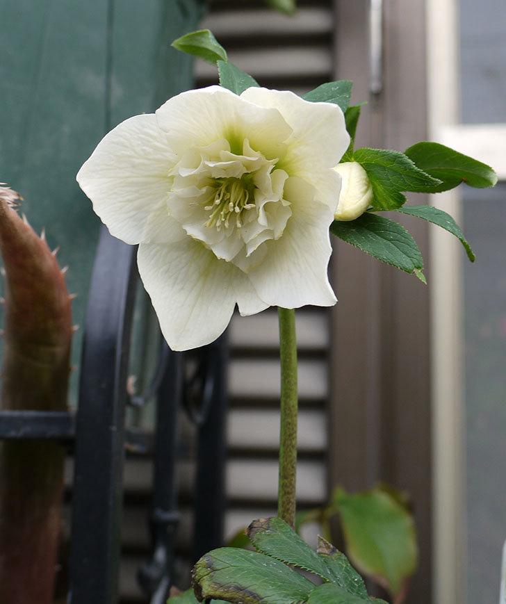アシュードホワイトシフォンの花が綺麗に咲いた。2017年-2.jpg