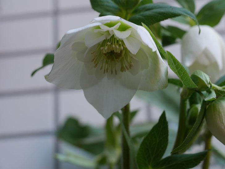 アシュードホワイトシフォンの花が綺麗に咲いた。2021年-005.jpg