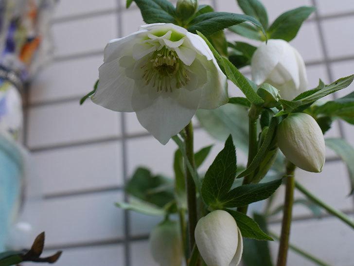 アシュードホワイトシフォンの花が綺麗に咲いた。2021年-006.jpg
